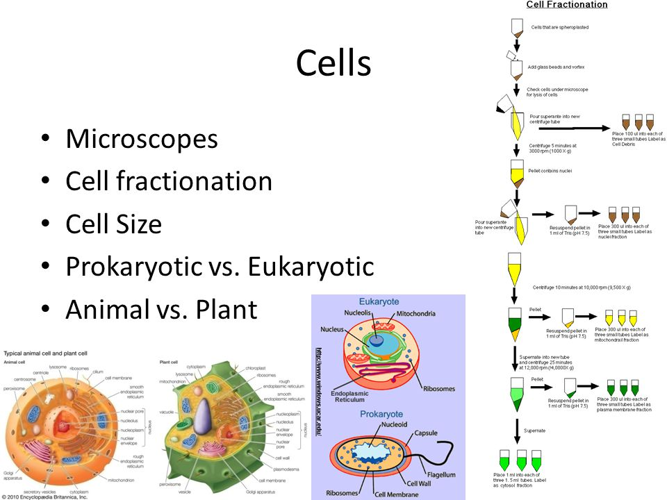 Cells Microscopes Cell fractionation Cell Size