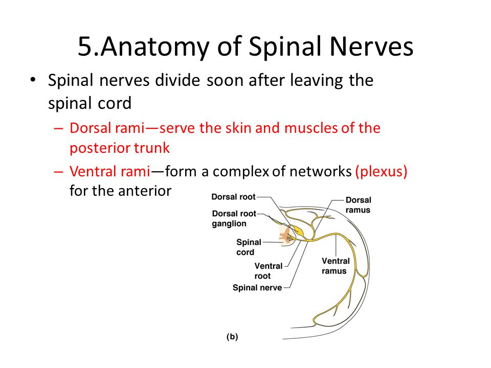 5.Anatomy of Spinal Nerves