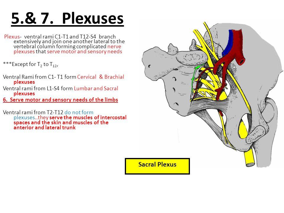 5.& 7. Plexuses Sacral Plexus