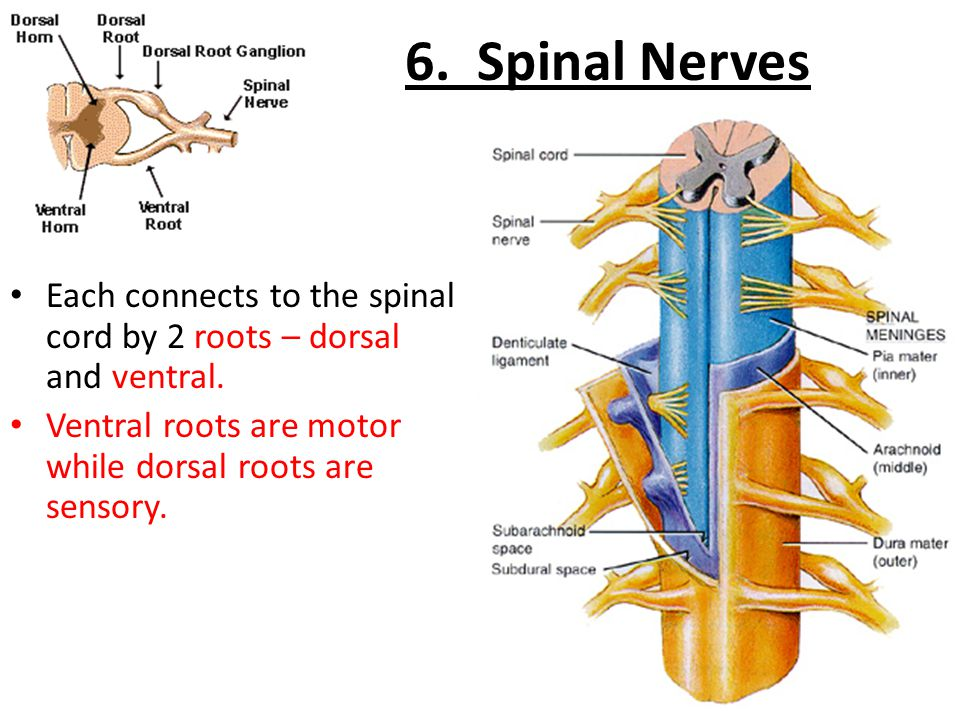 6. Spinal Nerves Each connects to the spinal cord by 2 roots – dorsal and ventral.