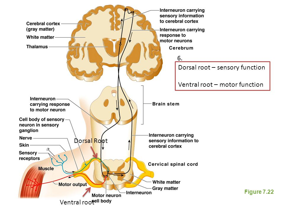 Dorsal root – sensory function Ventral root – motor function