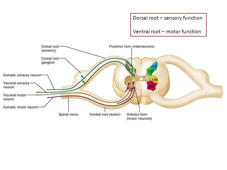 Dorsal root – sensory function