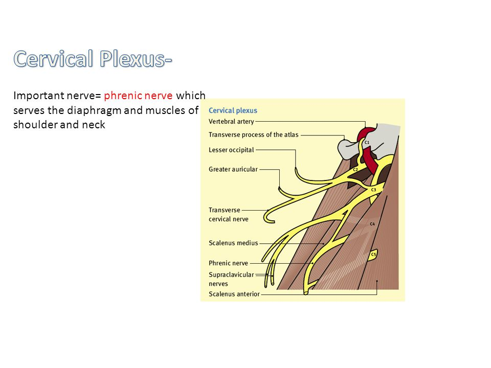 Cervical Plexus- Important nerve= phrenic nerve which serves the diaphragm and muscles of shoulder and neck.
