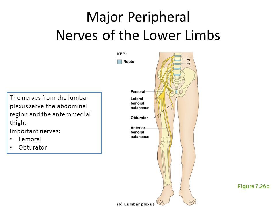 Major Peripheral Nerves of the Lower Limbs