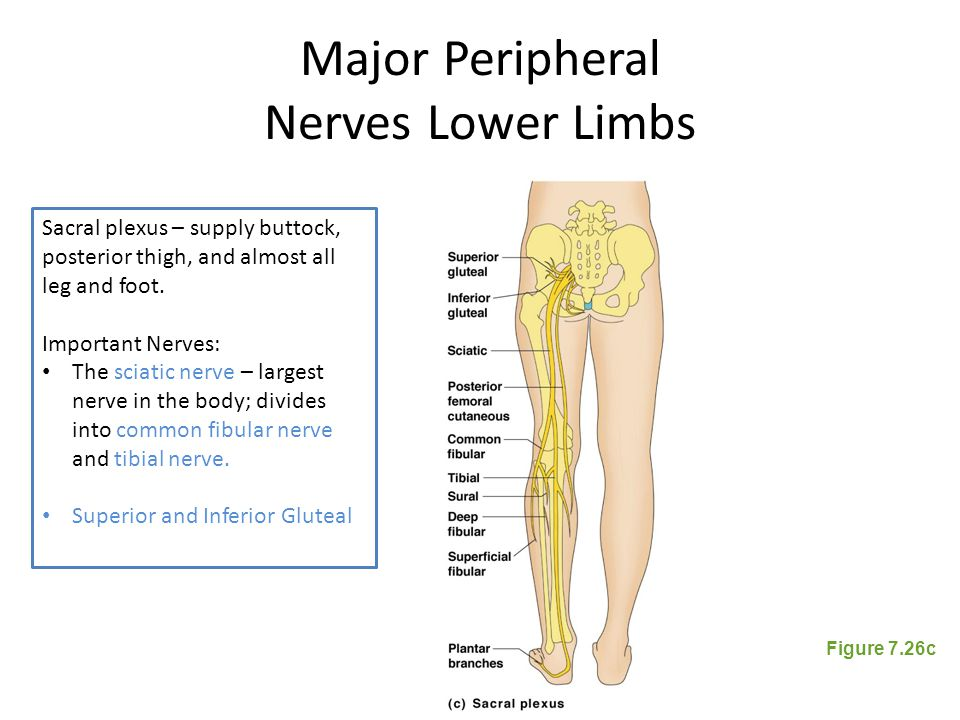 Major Peripheral Nerves Lower Limbs