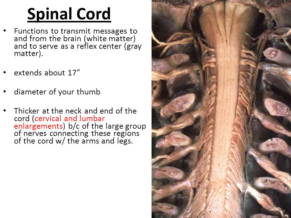 Spinal Cord Functions to transmit messages to and from the brain (white matter) and to serve as a reflex center (gray matter).