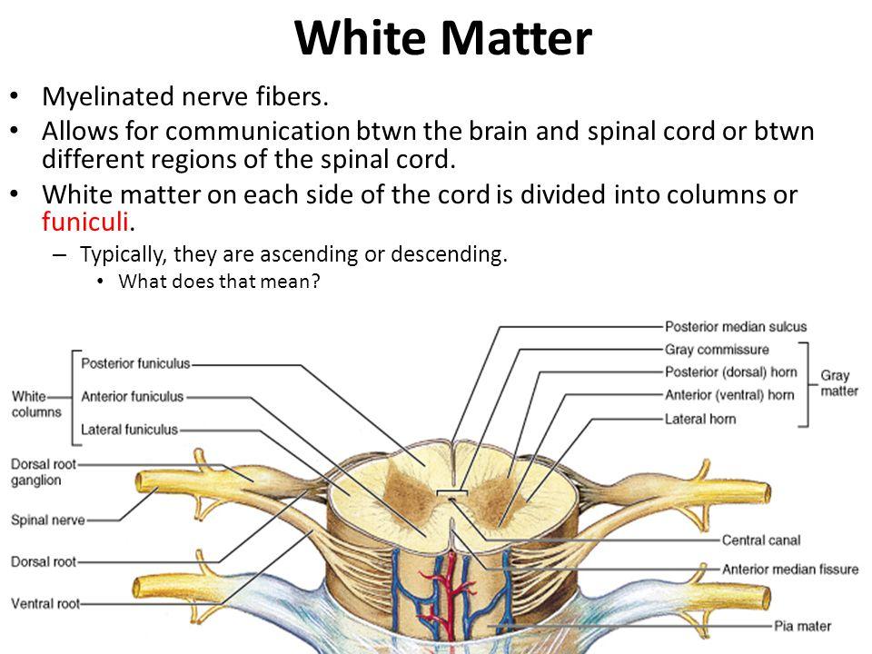White Matter Myelinated nerve fibers.