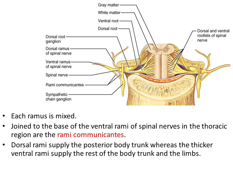 Each ramus is mixed. Joined to the base of the ventral rami of spinal nerves in the thoracic region are the rami communicantes.
