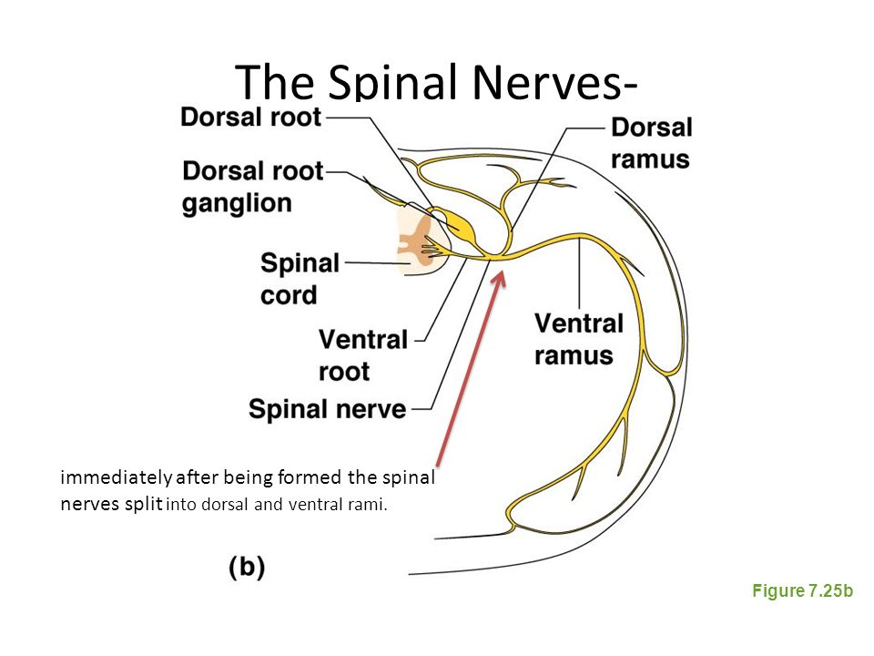 The Spinal Nerves- immediately after being formed the spinal nerves split into dorsal and ventral rami.