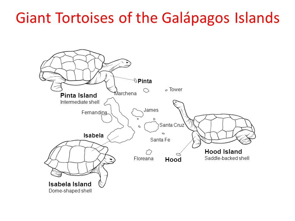 Giant Tortoises of the Galápagos Islands