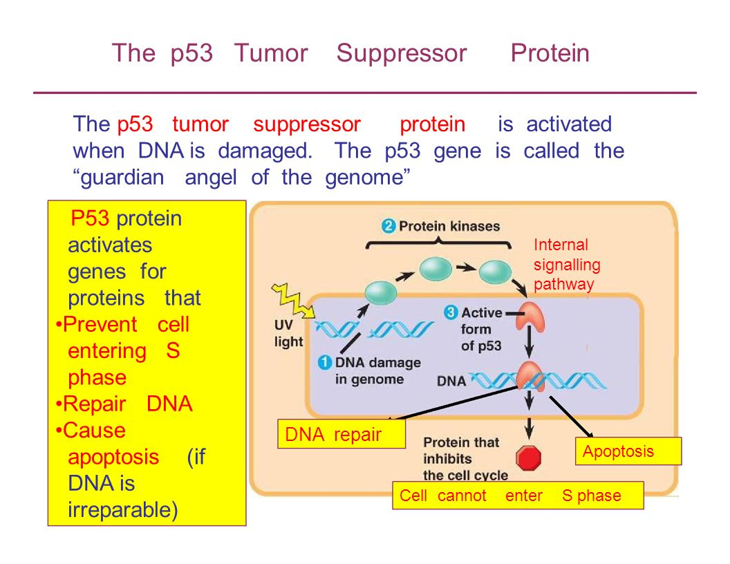 The p53 Tumor Suppressor Protein
