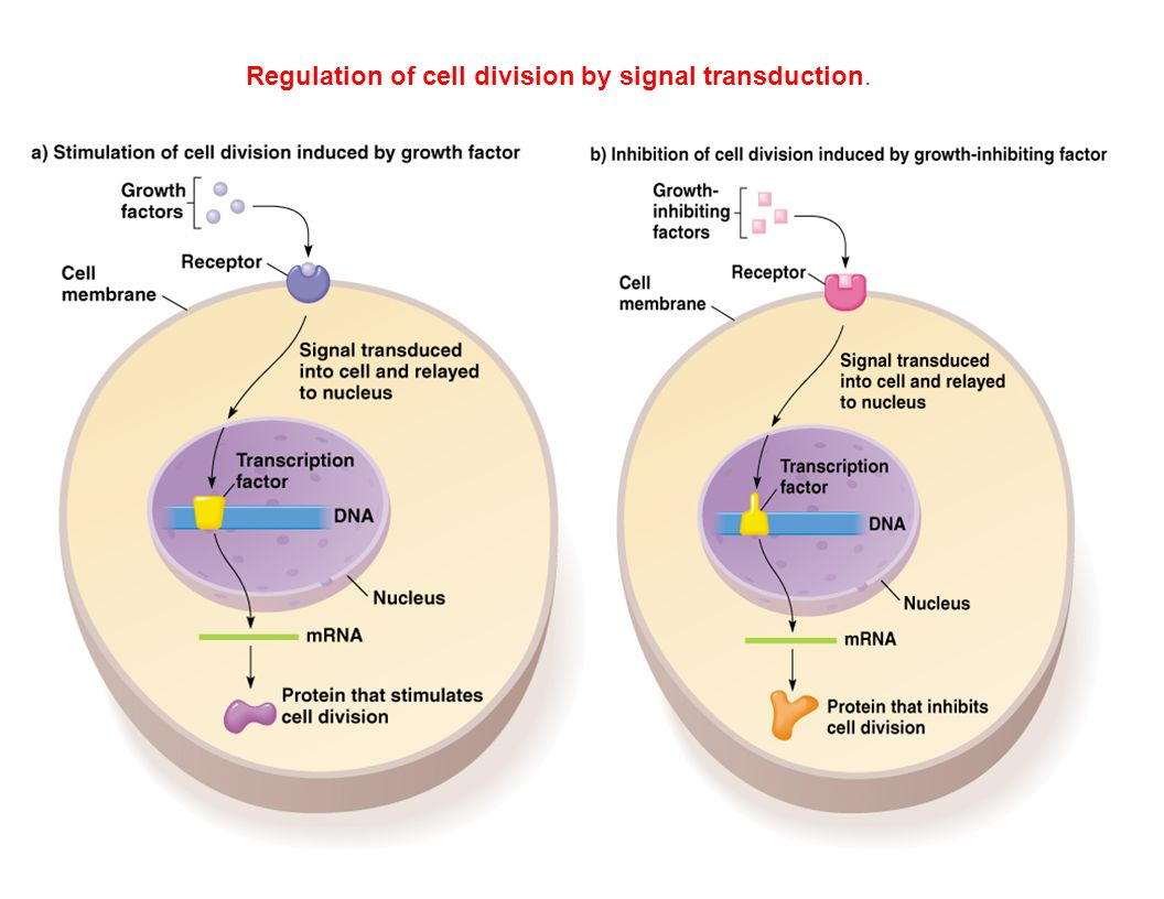 Regulation of cell division by signal transduction.