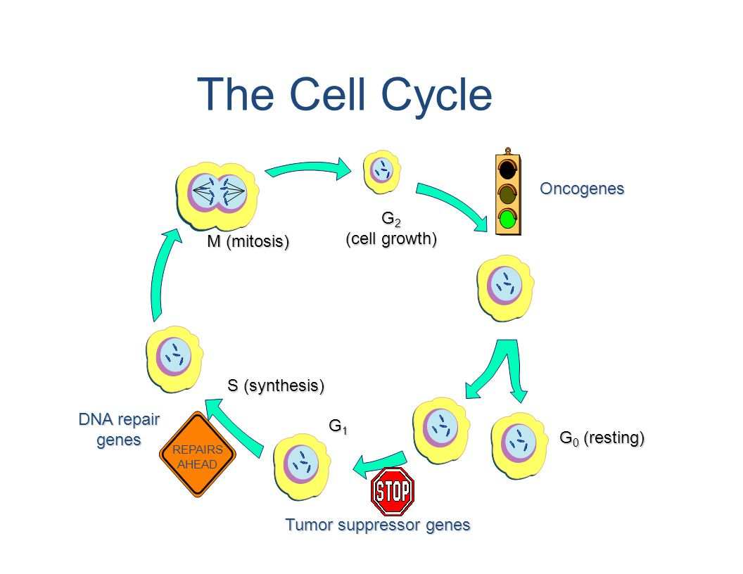 The Cell Cycle Oncogenes G2 (cell growth) M (mitosis) S (synthesis)