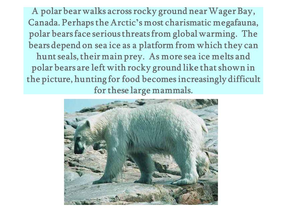A polar bear walks across rocky ground near Wager Bay, Canada
