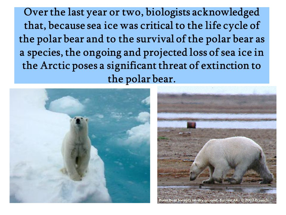 Over the last year or two, biologists acknowledged that, because sea ice was critical to the life cycle of the polar bear and to the survival of the polar bear as a species, the ongoing and projected loss of sea ice in the Arctic poses a significant threat of extinction to the polar bear.