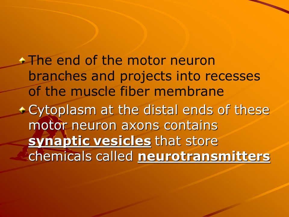 The end of the motor neuron branches and projects into recesses of the muscle fiber membrane