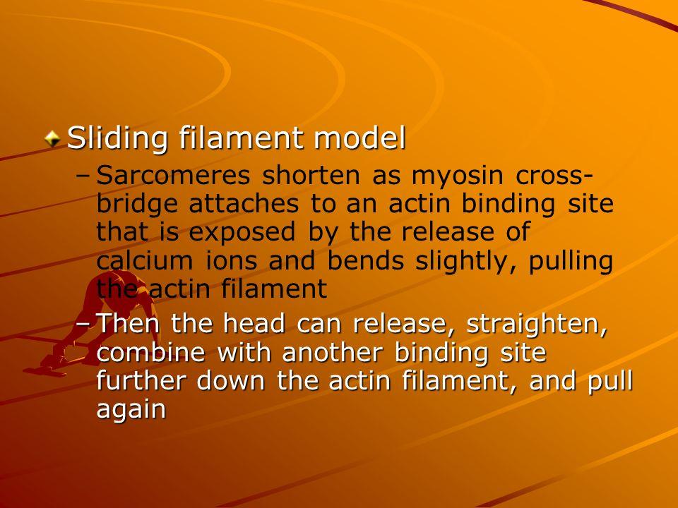 Sliding filament model