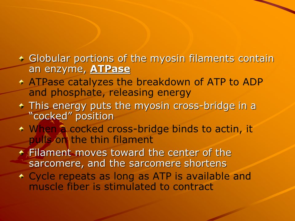 Globular portions of the myosin filaments contain an enzyme, ATPase