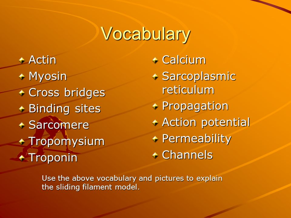 Vocabulary Actin Myosin Cross bridges Binding sites Sarcomere