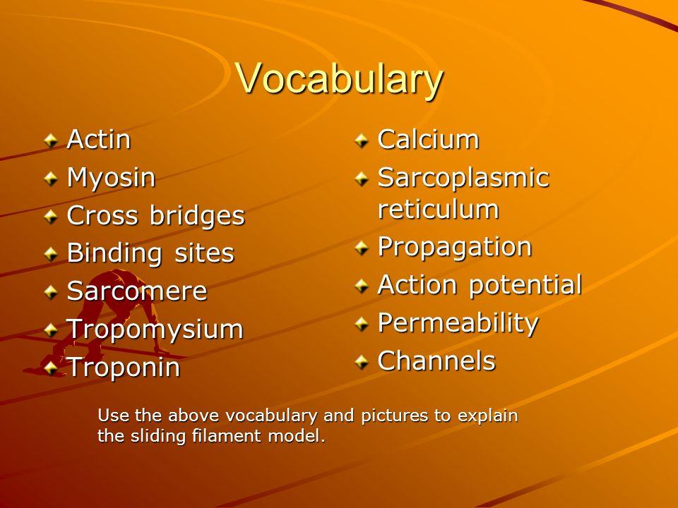 Vocabulary Actin Myosin Cross bridges Binding sites Sarcomere