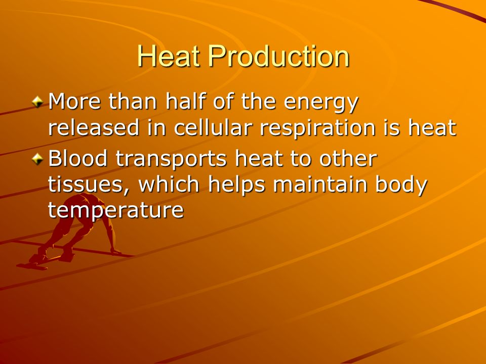 Heat Production More than half of the energy released in cellular respiration is heat.