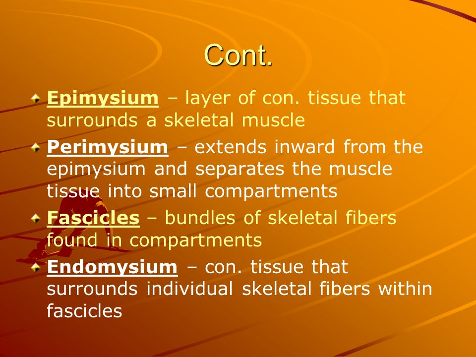 Cont. Epimysium – layer of con. tissue that surrounds a skeletal muscle.