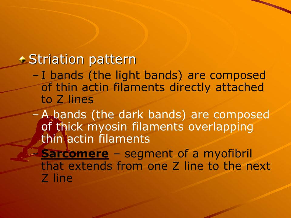 Striation pattern I bands (the light bands) are composed of thin actin filaments directly attached to Z lines.
