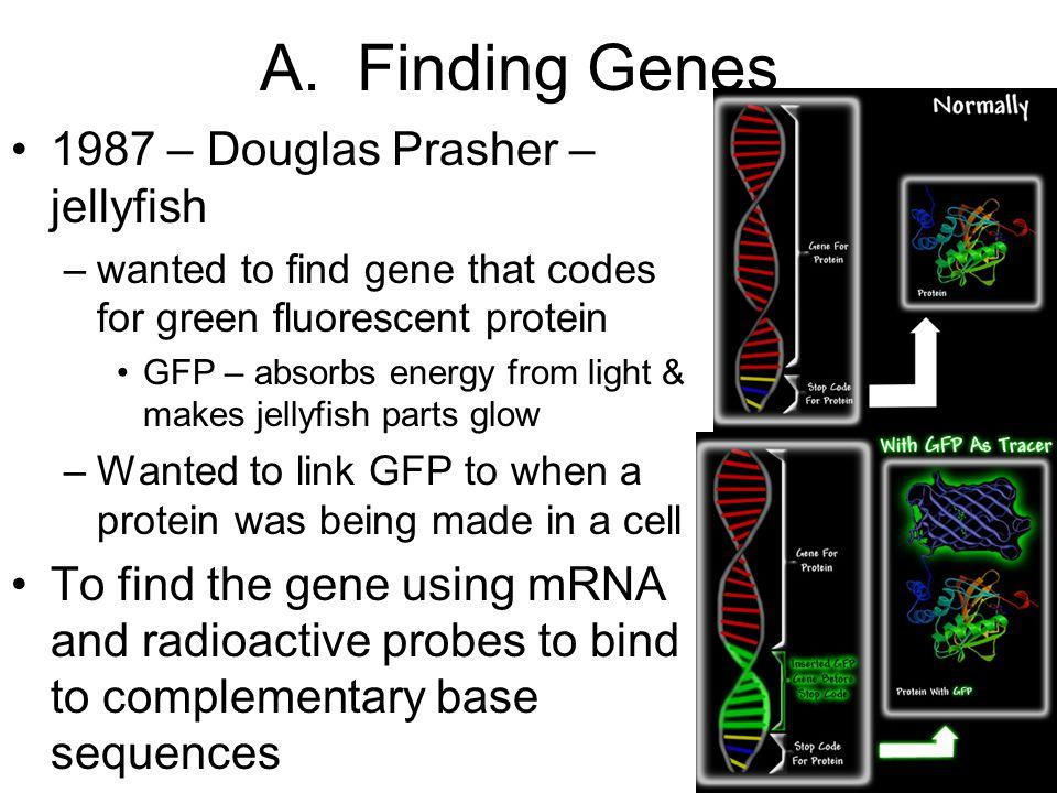 A. Finding Genes 1987 – Douglas Prasher – jellyfish