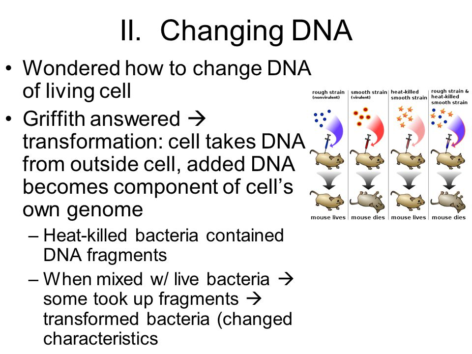 II. Changing DNA Wondered how to change DNA of living cell