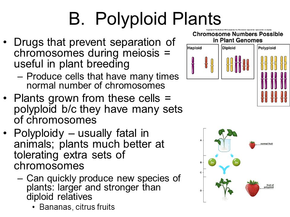 B. Polyploid Plants Drugs that prevent separation of chromosomes during meiosis = useful in plant breeding.