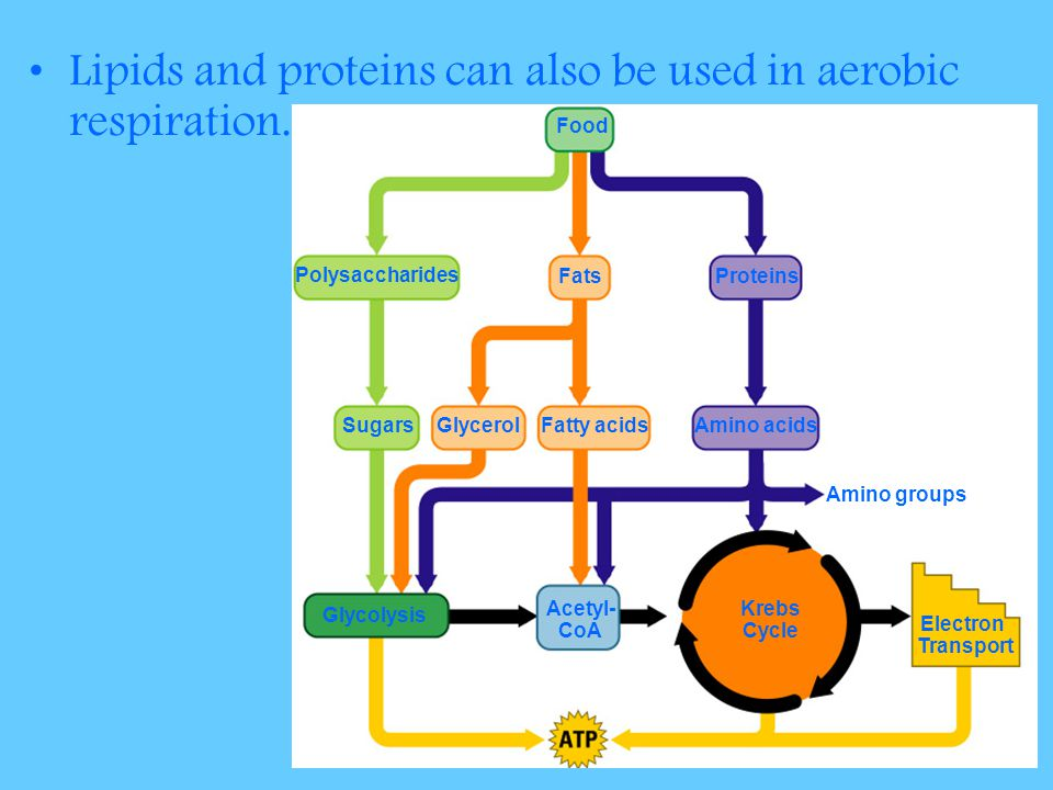 Lipids and proteins can also be used in aerobic respiration.
