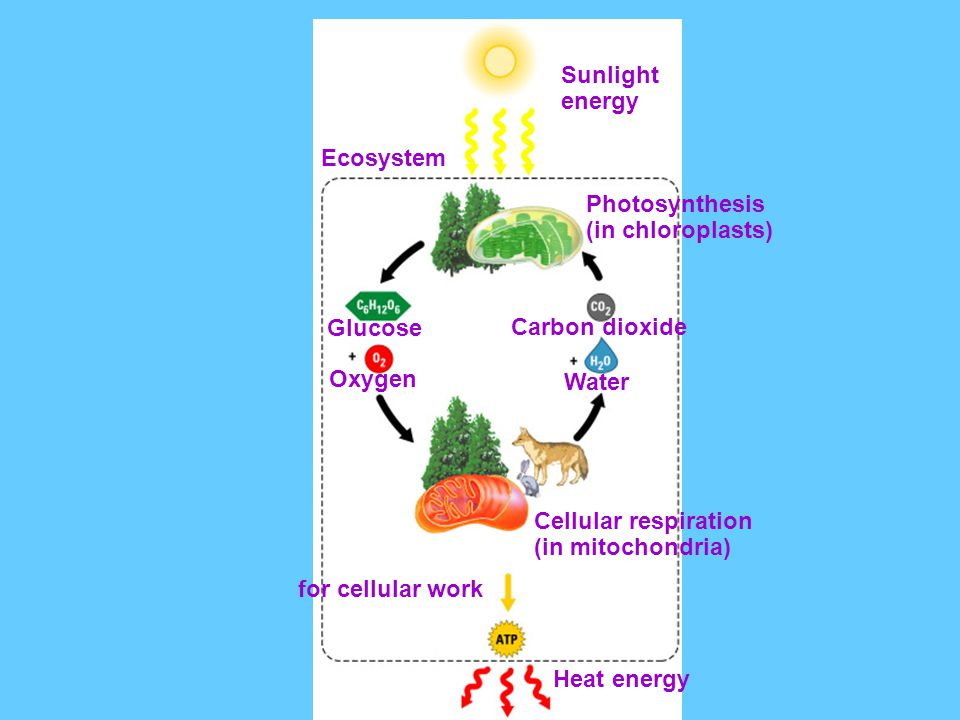 Sunlight energy. Ecosystem. Photosynthesis. (in chloroplasts) Glucose. Oxygen. Carbon dioxide.
