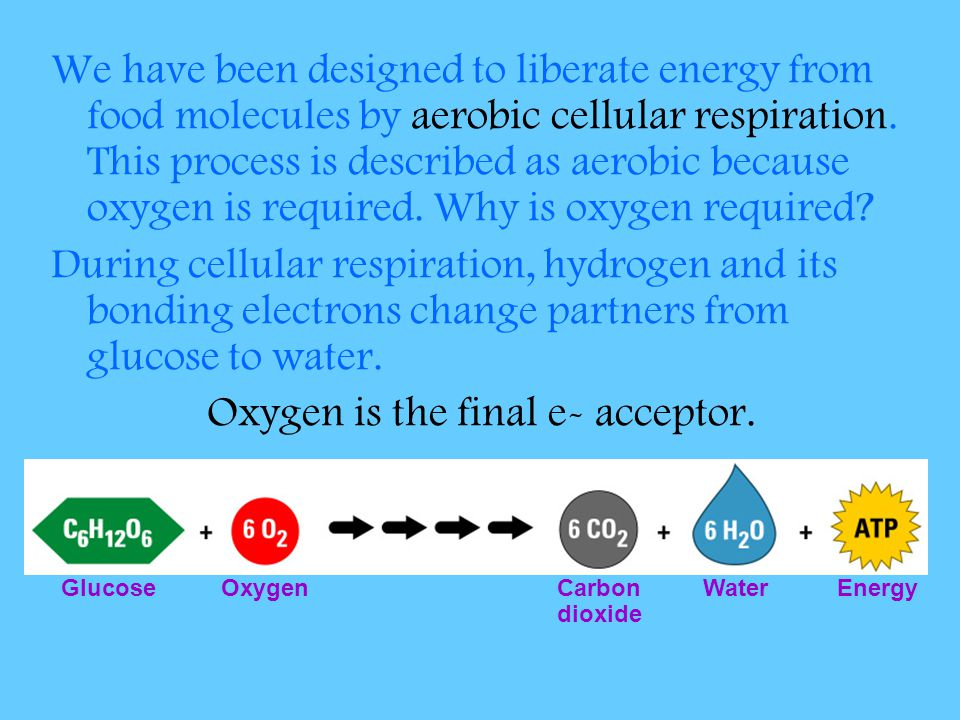 Oxygen is the final e- acceptor.