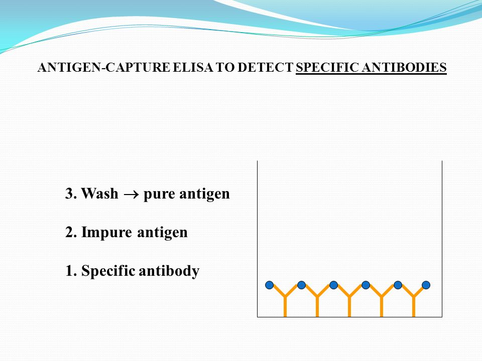 3. Wash  pure antigen 2. Impure antigen 1. Specific antibody
