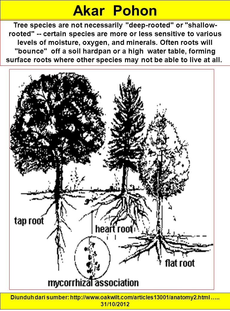 Akar Pohon