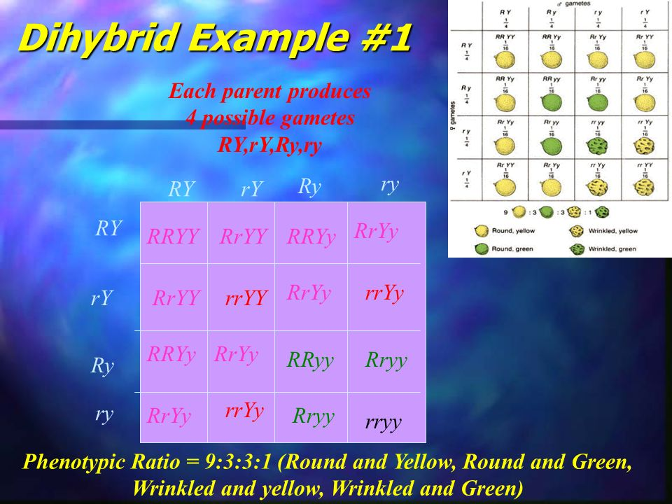 Dihybrid Example #1 Each parent produces 4 possible gametes