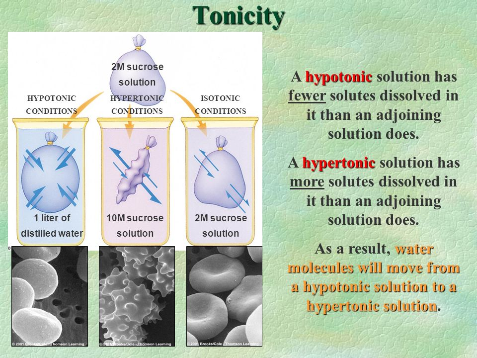 Tonicity 2M sucrose. solution. A hypotonic solution has fewer solutes dissolved in it than an adjoining solution does.