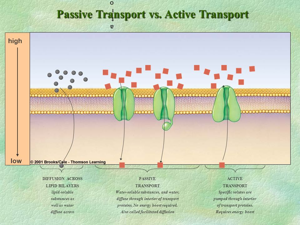Passive Transport vs. Active Transport