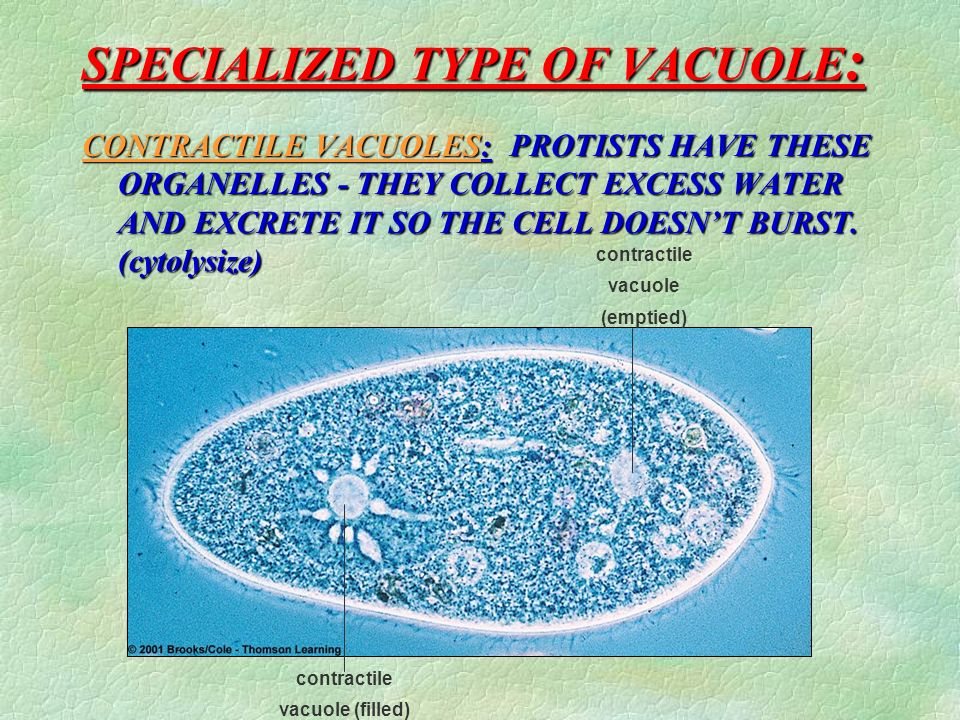 SPECIALIZED TYPE OF VACUOLE: