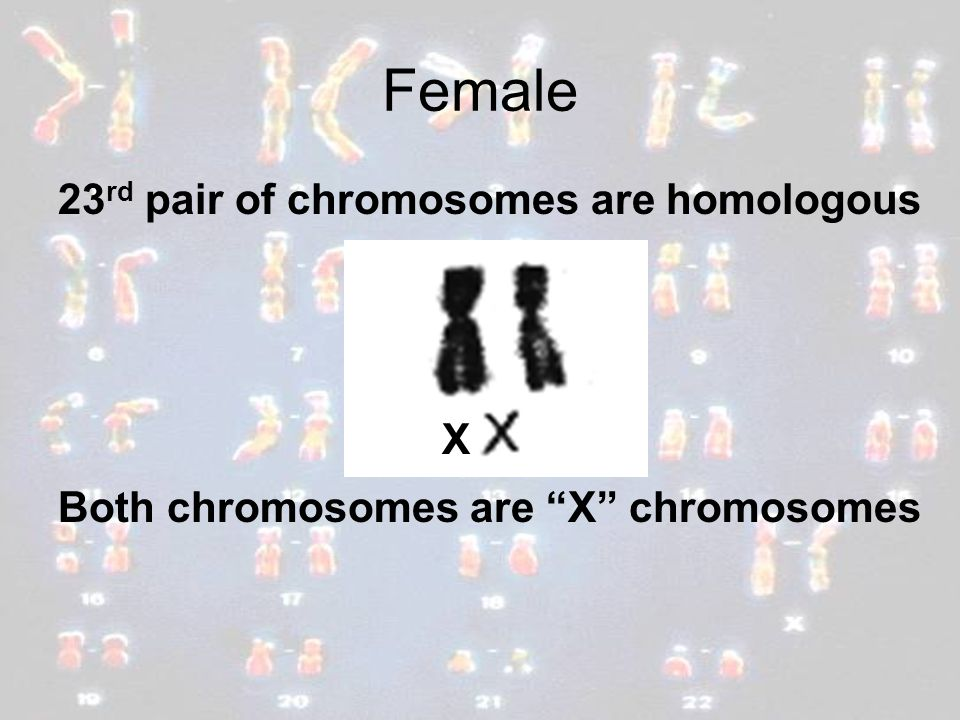 Female 23rd pair of chromosomes are homologous