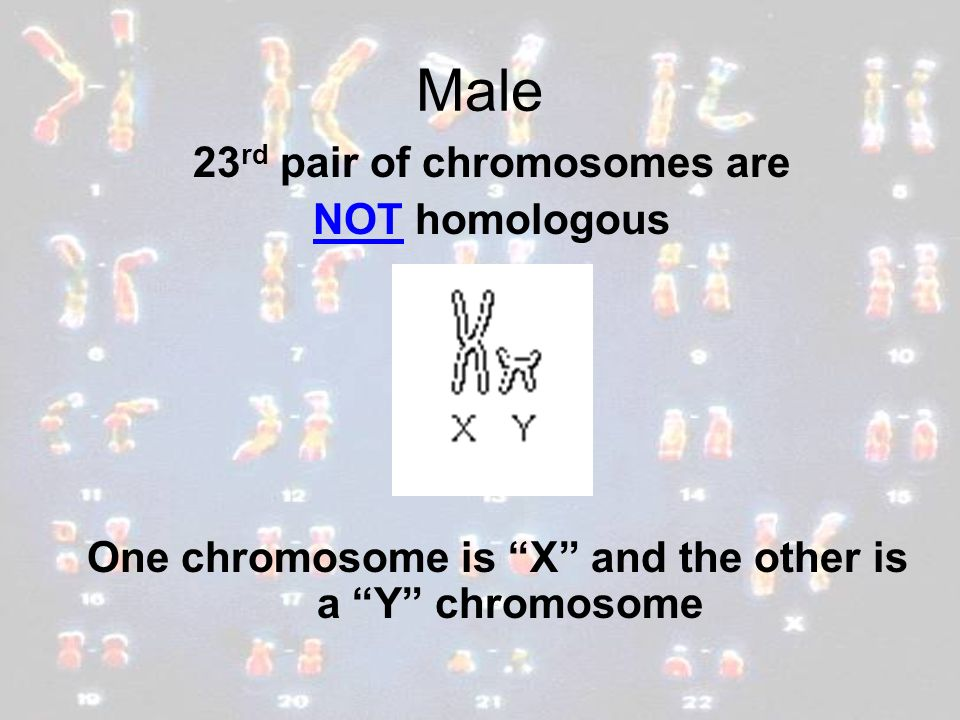 Male 23rd pair of chromosomes are NOT homologous