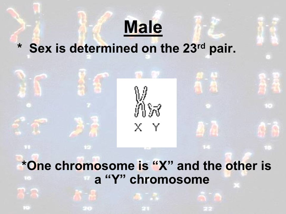 *One chromosome is X and the other is a Y chromosome