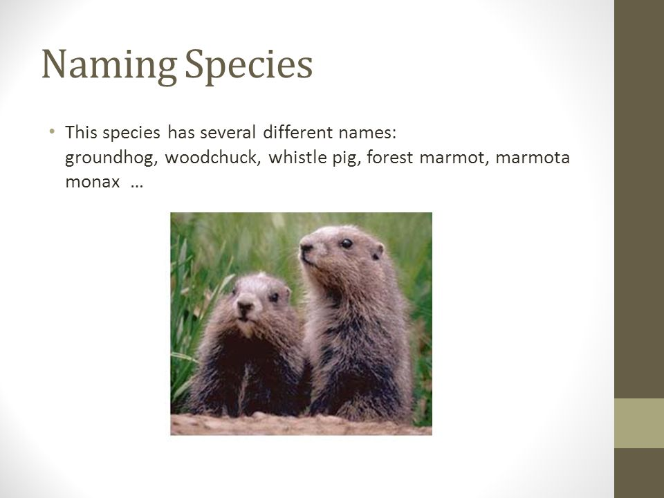 Naming Species This species has several different names: groundhog, woodchuck, whistle pig, forest marmot, marmota monax …