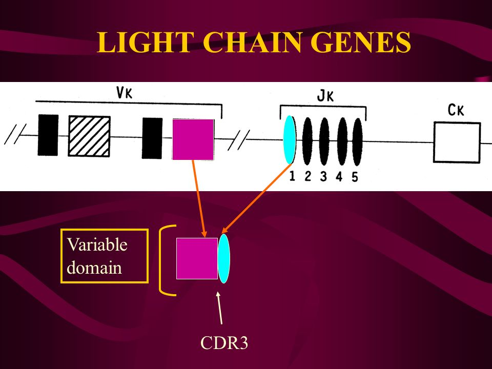LIGHT CHAIN GENES Variable domain CDR3