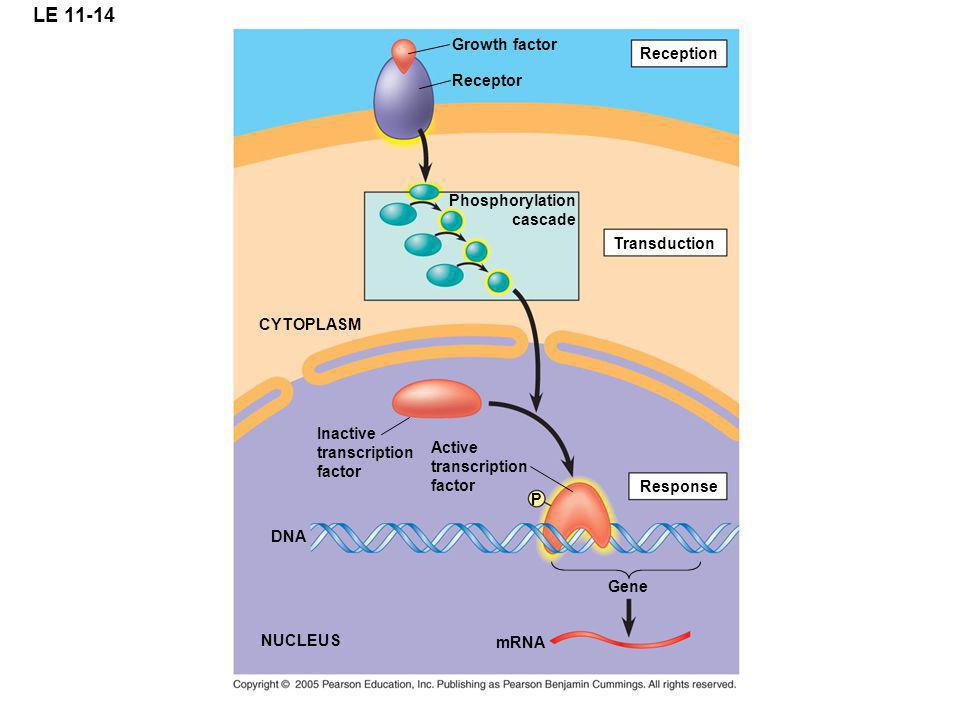 LE 11-14 Growth factor Reception Receptor Phosphorylation cascade