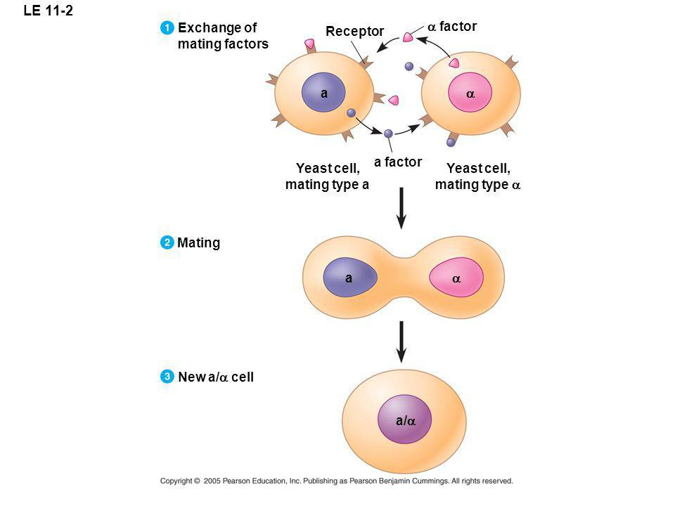 LE 11-2 Exchange of mating factors a factor Receptor a a a factor