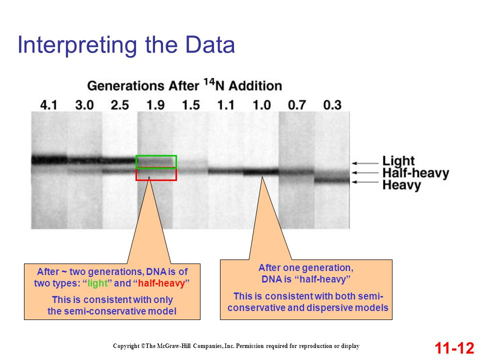Interpreting the Data 11-12 After one generation, DNA is half-heavy