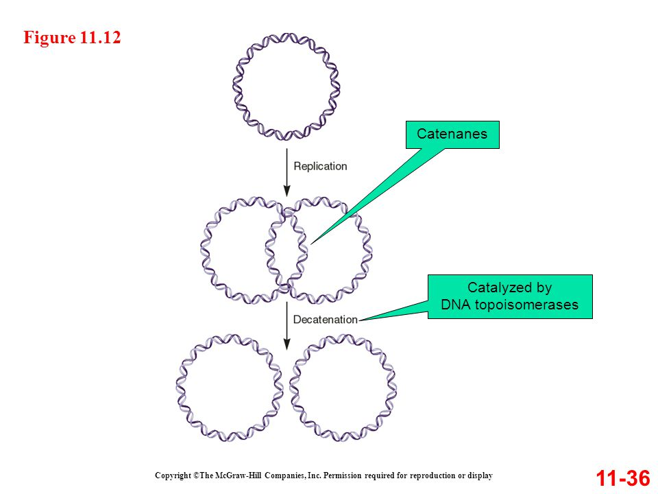 Catalyzed by DNA topoisomerases