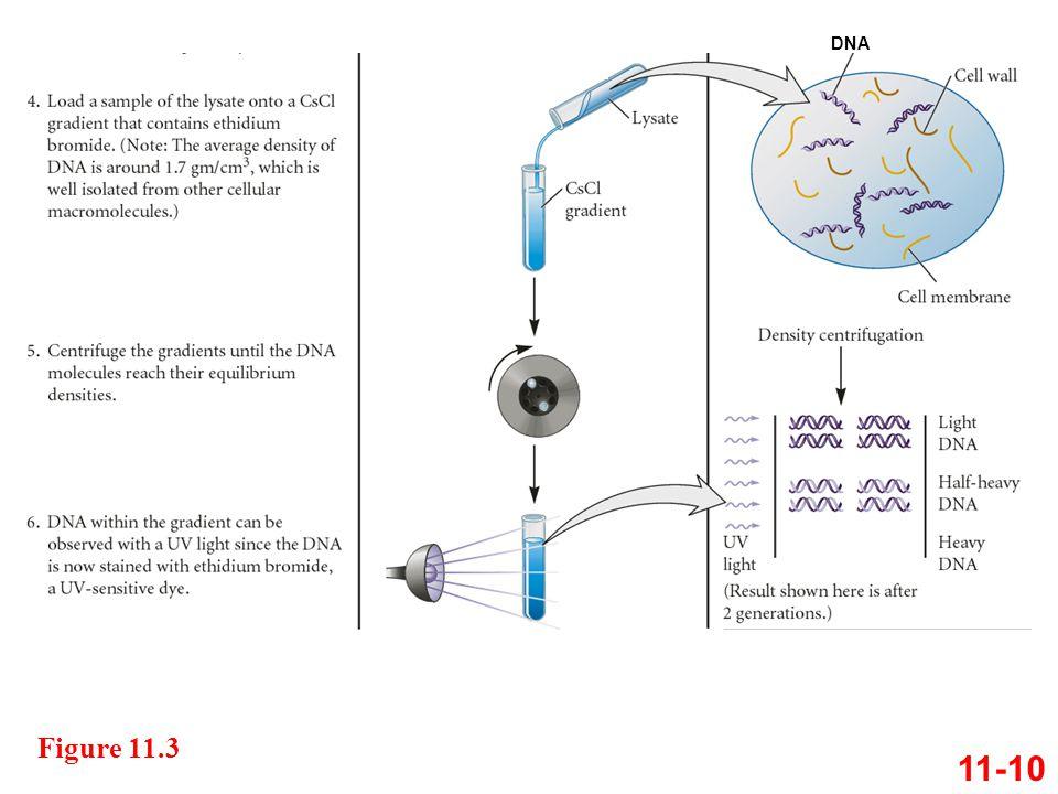 DNA Figure 11.3 11-10