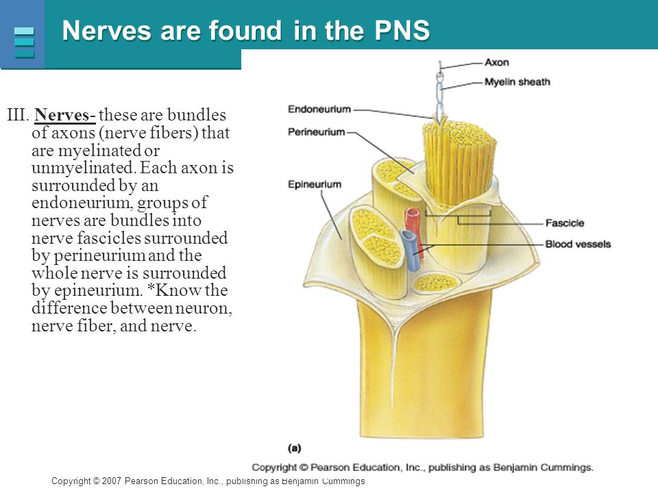 Nerves are found in the PNS